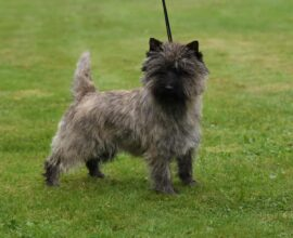 Rich CAC terrierspecialty Bjuv